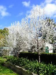 ornamental pear garden design garden designs pinterest