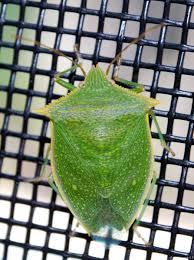 new backyard bug loxa flavicollis probably u2013 benweb 3 2