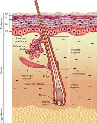 Anatomy And Physiology Cells And Tissues Skin Tissue Engineering Stembook