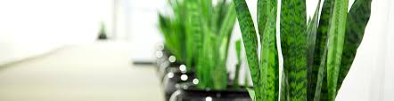 home plants indoor plant hire sydney the plant man