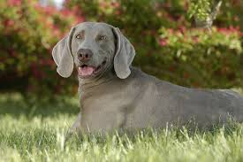What Causes Dogs To Go Blind Abscess In Dogs Symptoms Causes Diagnosis Treatment Recovery