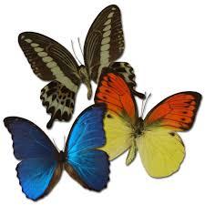 Unterschiedliche Esszimmerst Le Echter Schmetterling Im Bilderrahmen Schaukasten Verschiedene