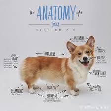 the anatomy of a corgi version 2 0 anatomy corgis and dog