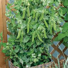 patio pride pea seeds from park seed