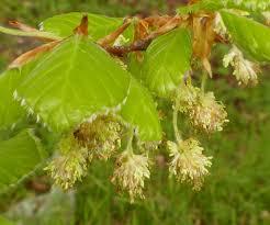 fagus sylvatica beech naturespot