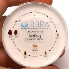 What Do A Bed Bug Look Like Bugs Often Mistaken For Bed Bugs Denise Donovan Pulse Linkedin