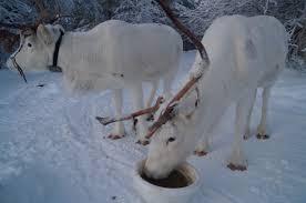 white reindeers u2013 allas activity u2013 a different trip