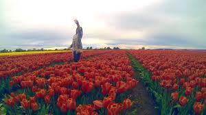 Tulip Field Tulips Field New Zealand Youtube