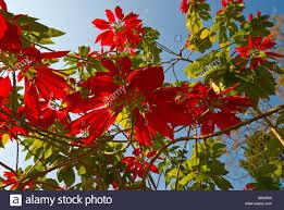poinsettia tree bright bracts of a poinsettia tree in the gardens of glenburn