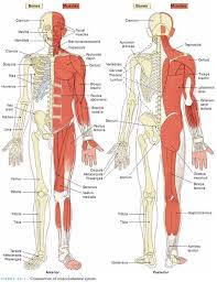 Anatomy And Physiology The Muscular System Muscular Skeletal Diagram Muscular Skeletal System Diagram Test