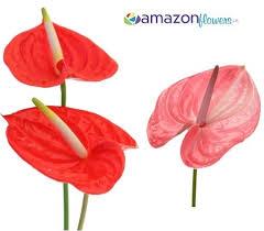 Bulk Flowers Bulk Anthurium Wholesale Anthurium Cut Flowers Buy Anthurium