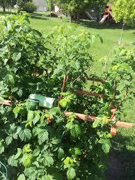 how to grow beautiful organic raspberries u2013 bugvibes blog