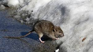 Mark Shrayber by Fun Easygoing Rat Seeks Human Baby For Friendship Gnawing