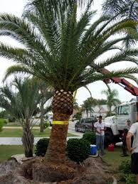 sylvester palm tree prices uncategorized aqualityplant