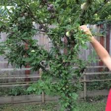 Backyard Fruit Trees Likeable How To Plant A Fruit Garden Landscaping U0026 Backyards