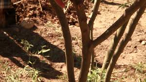 native sonoran desert plants how to prune a native sonoran desert multi trunk tree youtube