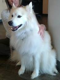 american eskimo dog winnipeg 12 30 16 u2015 texas samoyed rescue u2015 adoptions u2015 rescueme org all