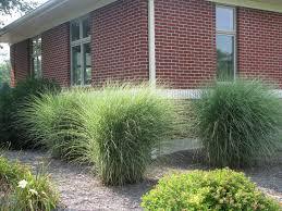 ornamental landscape grasses yahoo search results landscape