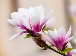 magnolia trees blossom in the lightorialist