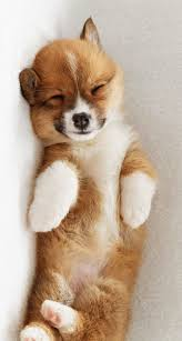 829 best the cutest corgi puppy pictures on earth images on