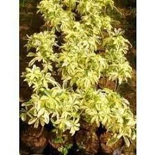 ornamental plants buy in new delhi