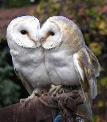 North American Barn Owl Owls Of North America A Gallery On Flickr