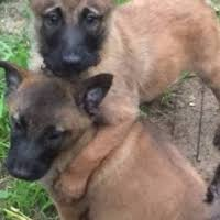 belgian shepherd breeders south africa malinois ads in dogs and puppies in south africa junk mail