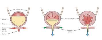 Female Urinary System Anatomy Uninary System Images Female Urinary System Ref02 Human Anatomy