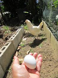 villa gallina residents backyard chickens