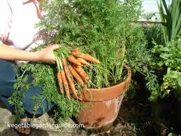 learn how to grow carrots a versatile and delicious vegetable