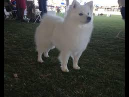 american eskimo dog male jan palmer puppies for sale