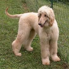 afghan hound breed afghan hound dog breed pictures 1