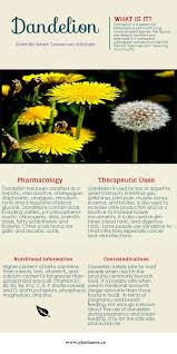 Dandelion Facts Infographic Dandelion Pharmacology Plantamex Canada