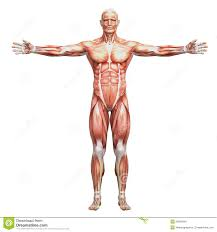 Male Body Anatomy Organs Human Body Women Anatomy Human Anatomy Educations