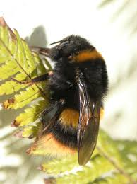 first cornish bumblebee atlas published erccis