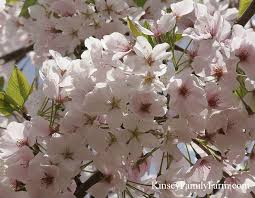 ornamental flowering trees kinsey family farm