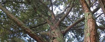 the meaning of trees u2013 the history use and significance of new