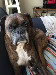 feeding a boxer dog how i u0027m keeping my senior dog healthy u0026 happy brightmind a