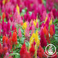 celosia flower celosia plumed castle series mix seed
