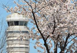 Cherry Blossom Tree Facts by Washington U0027s Airports Celebrate Arrival Of National Cherry Blossom