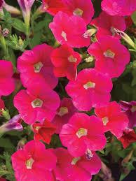Flowering Patio Plants 20 Best Patio Plants Images On Pinterest Patio Plants Patio