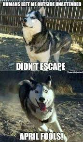 Siberian Husky Meme - pin by soumo eu on funny animals pinterest siberian huskies