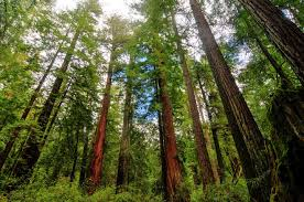 sequoias and redwoods the largest and tallest trees