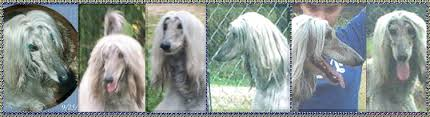 afghan hound therapy dog afghan hound for sale show quality dog for pet companion obedience