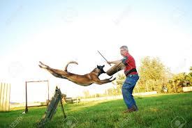 belgian sheepdog training belgian sheepdog images u0026 stock pictures royalty free belgian