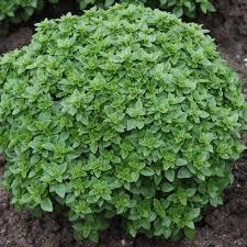 basil pluto harris seeds