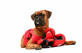 Boxer Dog Halloween Costume Showing Media U0026 Posts Funny Boxer Dogs Halloween Www