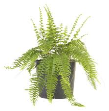 how to revive ferns hunker