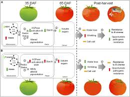 malate plays a crucial role in starch metabolism ripening and