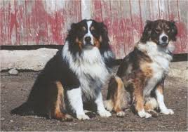 australian shepherd dogs 101 english shepherd dog breed information and pictures